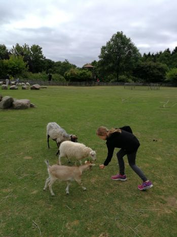 Fütterung bei den Schafen.